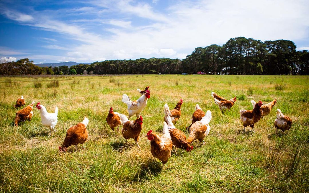 Why did the Chicken Cross the Road? Because It Is Pasture-Raised and Free to Roam If It Wants to.